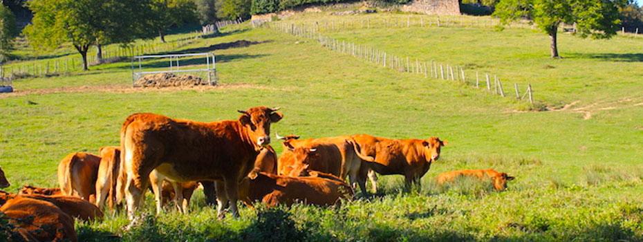 <blockquote><h3>Le boeuf de Coutancie, une viande de haute qualité</h3>Le Bœuf de Coutancie provient en grande majorité d'une sélection de génisses et de vaches limousines nées et élevées de façon traditionnelle en Limousin, mais aussi de blondes d'Aquitaine issues du Pays Basque. </blockquote>